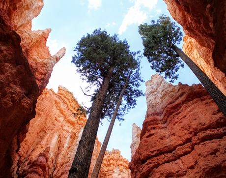 Douglas fir (Pseudotsuga menziesii; Pinaceae) growing among the canyons at Bryce Canyon National Park in Utah (Photo: Zheng Li)