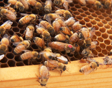 The queen bee, recognized by her larger size and marked with a red dot so the scientists can keep track of her more easily, can live for years, while the worker bee's lifespan is measured in weeks. (Photo: Bob Demers/UANews)
