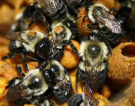 Worker bumblebees, tagged with tiny RFID chips, are seen here caring for the larvae, which develop inside egg-shaped structures; pollen and nectar are kept within the pot-shaped structures. (Photo: Avery Russell)