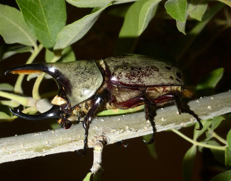 A western Hercules beetle up close (Photo: Rick Brusca)