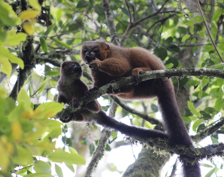 Adult male red-bellied lemurs assist with infant care through behaviors like grooming, playing and holding their offspring. (Photo: Velontsara Jeanne Baptiste)
