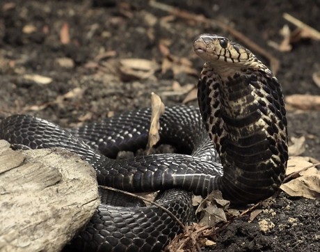 The bite of the forest cobra, whose scientific name is Naja melanoleuca, can induce a severe neurotoxic envenomation that is potentially life-threatening.