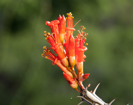 You can contribute to a nationwide effort to record plant and animal life cycle stages, like flowering of the Sonoran Desert's native ocotillo. (Photo Brian F. Powell)