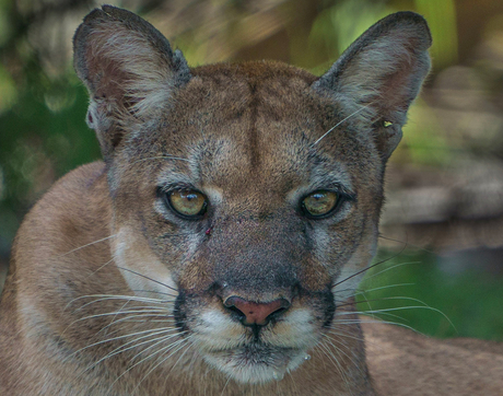 A female Florida panther is photographed in the wild at Audubon's Corkscrew Swamp Sanctuary. (Photo courtesy of Carlton Ward Jr. @carltonward)