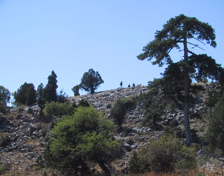 By studying the annual rings of trees such as the European black pines on this slope in Anatolia, Turkey, scientists figured out that the northern boundary of the tropics moved back and forth over the last 800 years. (Photo: Ünal Akkemik)