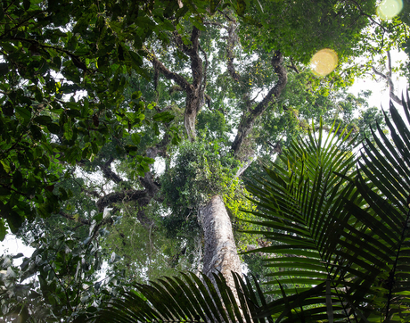 What lidar sees: the canopy structure of the rainforest, as seen from the ground. (Photo: Marielle Smith)