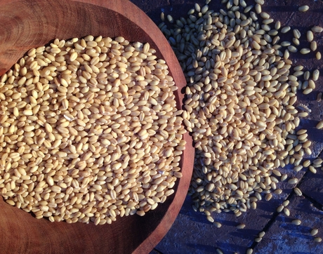 White Sonora wheat berries (Courtesy of M A Burgess, BKW Farms)