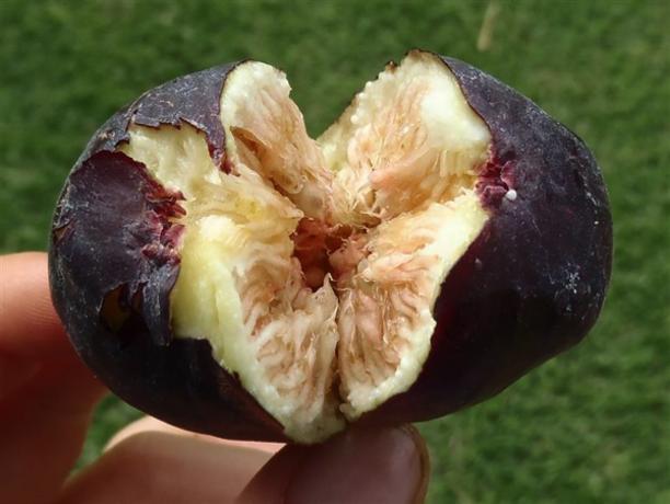 a essay on ripe fig