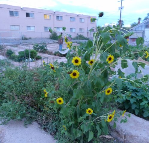 Rincon Heights Community Garden (Photo by Colby Henley)