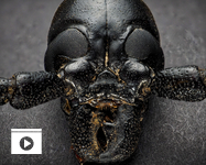 "A close-up of a long-horned beetle nicknamed ""Darth Beetle"" (Photo: John Sartin)"