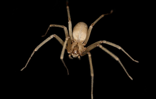 The spindly brown recluse spiders can deliver one of the most toxic bites to humans of any arachnid, potentially causing blackened lesions or a dangerous systemic reaction that can be fatal in extremely rare cases. (Image: Wikimedia Commons)