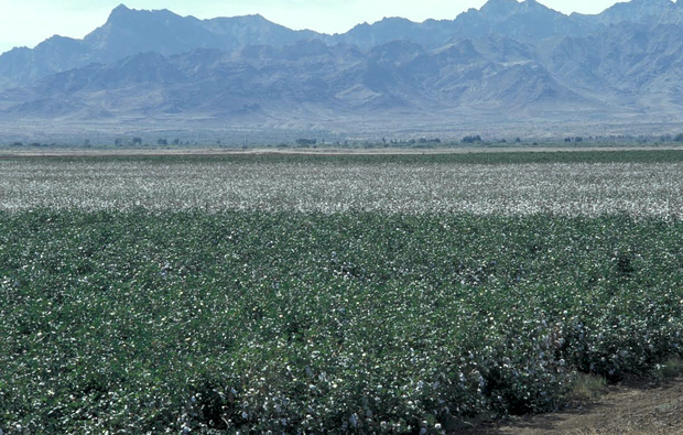 A field planted with Bt cotton in Southern Arizona. (Photo: Photo: Timothy Dennehy)