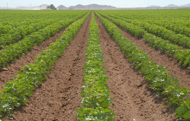 Early flowering cotton at a field in Sacaton, Ariz. (Photo by Pedro Andrade-Sánchez)