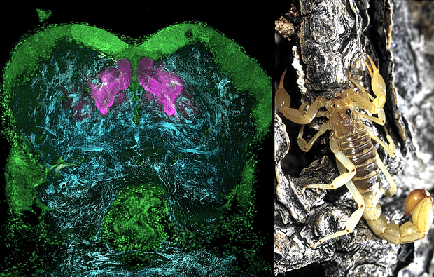 """Memory centers called mushroom bodies in the forebrain of a scorpion, revealed here by antibodies against """"memory protein"""" and shown in magenta. (Photos: Left: Gabriella Wolff; right: Chip Hedgecock)"""