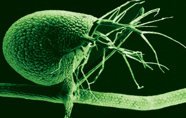 A scanning electron microscope image shows the tiny, 1-millimeter-long bladders used to catch small organisms by Utricularia gibba, the humped bladderwort plant (color added). The submerged growing plant is a voracious carnivore, with its bladders leveraging vacuum pressure to suck in tiny prey at great speed. (Photo: Enrique Ibarra-Laclette and Claudia Anahí Pérez-Torres)