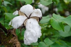 The UA college also developed the S-1 cultivar of Pima cotton that led to the rebirth of the long-staple cotton industry and a comprehensive cotton integrated pest management program.