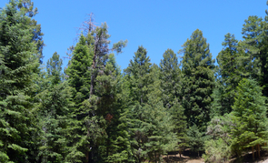 Mixed conifer forests like this one high up in the Catalina Mountains and the animals dependent on them could disappear in the near future due to a steadily warming and drying climate in the Southwest. (Photo: Rick Brusca)