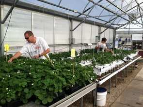 Research specialist Mark Kroggel (left) and graduate student Michael Whalen work on strawberry plants in the UA greenhouse. (Photo by Chieri Kubota)