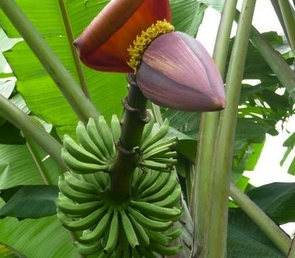 Banana plant with fruit and flower