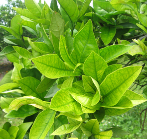"""The leaves of this infected grapefruit tree have turned yellow between the veins, hence the Chinese name for citrus greening disease, which translates to """"Yellow Dragon."""" (Photo: Judith Brown)"""