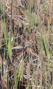 This photo of a Yuma Clapper rail, taken only three weeks after 80 percent of the Ciénega de Santa Clara burned in late March 2011, shows that the marsh vegetation is already growing back. The Yuma Clapper rail (Rallus longirostris yumanensis) is listed in the U.S. as a federally endangered species and in Mexico is listed as threatened. (Photo credit: Francisco Zamora/Sonoran Institute)