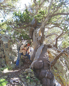 Doctoral candidate Cody Routson of the environmental studies laboratory at the UA's department of geosciences scrambles up a mountain slope to sample a bristlecone pine tree. (Photo by Mark Losleben/Laboratory of Tree-Ring Research)