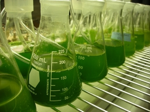 Stocks of green algae that produce oil for biodiesel production.