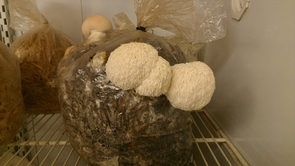 Woodchips and shredded mesquite pods are used as a substrate for a mushroom called lion's mane.
