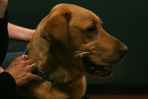 Four-year-old Augie, a yellow labrador retriever that was first registered as a pet therapy volunteer with Delta Society about three years ago, was quite popular with law students during the pet therapy session.
