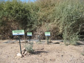 (Click to enlarge) Rows of saltbush seem to thrive at the Marana desalination research site. The plants are irrigated with brine water that is the end product of a filtration process that eliminates much of the salinity of water that flows to Tucson in the Central Arizona Project canal.