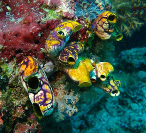 (Click image to enlarge) Sea squirts such as these colorful specimens found on an Indonesian reef spend their adult lives attached to rocks, piers or the like, straining tiny food particles from seawater. Photo: Kandie Vactor