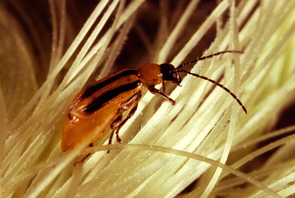 An adult western corn rootworm beetle, shown here searching for pollen on corn silk. (Photo by Tom Hlavaty)