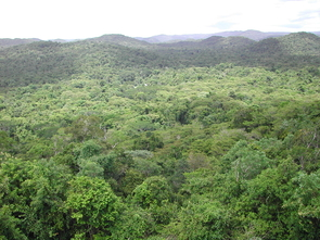 Researchers have found about 180 species of trees in the Chiquibul Forest Reserve in Belize, where this study was performed. (Photo: Rachel Gallery)