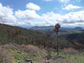 """This picture, taken looking east toward a peak called """"St. Peter's Dome,"""" shows the aftermath of the Las Conchas fire, which burned in the JemezMountains of New Mexico in June and July. The dead trees are ponderosa pine. The Las Conchas Fire re-burned an area here that previouslyburned in 1996, killing most of the remaining trees that had survived the earlier fire. (Photo credit: Thomas W. Swetnam/UA Laboratory of Tree-RingResearch)"""