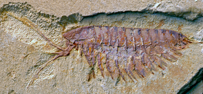 A fossil of the megacheiran Leanchoilia illecebrosa, showing its characteristic forceps-like great appendages. This species is a close relative of the more rare Alalcomenaeus and is likewise a distant relative of scorpions and spiders. (Photo:  Xianguang Hou/YKLP, China)