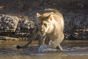 Lion populations have declined from an estimated 400,000 in 1950 to 21,000 today. (Photo: Brian Scott)