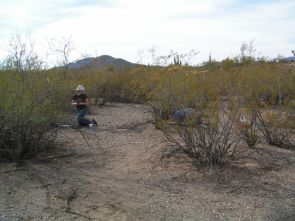 (Click to enlarge) Ecologists Sarah Kimball (L) and Amy Angert (on the right behind a creosote bush) count seedlings of winter annual plants at a study site located at Tumamoc Hill, home of the University of Arizona's Desert Laboratory. (Credit: Copyright 2007 Jonathan L. Horst)