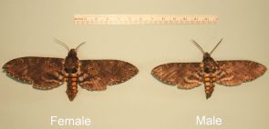 Female hawk moths (left) are larger than their male counterparts