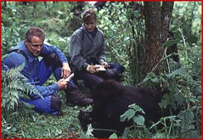 Netzin and Dieter Steklis study a gorilla (lower right) emerging from the forest.