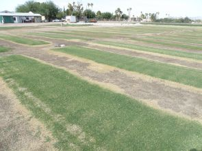 Irrigation deficit study: Seven types of salt-tolerant, low-desert-adapted grasses are grown with descending amounts of water at the Karsten Turfgrass Research Facility to determine the effect of water stress on turf quality. (Photo by Susan McGinley)