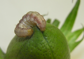 The same pest is called cotton bollworm when plaguing cotton plants. (Photo: Thierry Brévault)