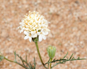 Blooming Chaenactis stevioides, one of the desert native species on which Li focuses his research. (Image courtesy of Max Li)