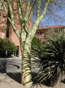 This fever tree, a kind of acacia found in Africa, is the largest in Tucson. Located near Cochise Hall on campus, it was designated a Great Tree of Arizona in 2003. (Photo courtesy Campus Arboretum)