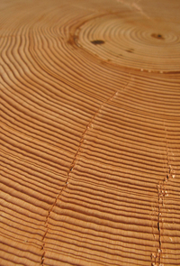 A cross section of wood shows the annual growth rings trees add with each growing season. Dark bands of latewood form the boundary between each ring and the next. Counting backwards from the bark reveals a tree's age. (Copyright: Daniel Griffin/Laboratory of Tree-Ring Research)
