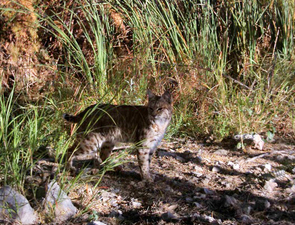 At 34 camera sites, the researchers took 309 photos of bobcats. Unlike the homogeneous fur coat of mountain lions, the unique spot pattern of bobcats allows experts to recognize individuals in the pictures.