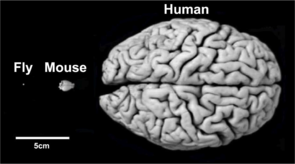 Despite their differences in size and appearance, the brains of flies, mice and men rely on similar structures regulating comparable behaviors in a similar manner. (Photo: Frank Hirth/KCL)