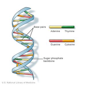 The genetic alphabet: Each color represents one of four different bases, molecules that together make up the genetic material DNA. The sequence with which the bases are arranged along the DNA double helix forms a code that serves as blueprints for proteins.