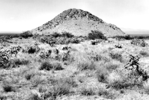 By 1941, an unknown photographer documented burro weed and cholla cactus popping up, along with velvet mesquite trees. (Photo provided by M. McClaran)