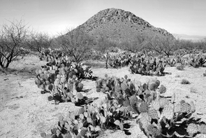 In 2007, the grass cover has given way to velvet mesquite trees, and prickly pear have replaced cholla as the dominant cacti. (Photo by M. McClaran)