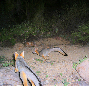 The motion-sensor cameras used in the monitoring study snapped pictures of all kinds of wildlife, including these gray foxes playing in the night.
